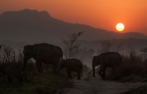 Large mammals like elephants need wide open grazing spaces such as grasslands in order to sustain their food habits. Climate Change and huge biotic pressure in densely populated countries like India are actively destroying elephant habitats.