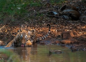In the steaming heat of a hot summer day, a tiger cub drinks from a small forest pool while his mother relaxes in the background. Global warming is directly affecting the water sources that are critical for the survival of Bengal Tiger.