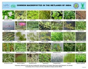 Poster 5-macrophytes.pdf